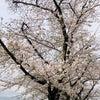 今年の桜は…… 2020の画像