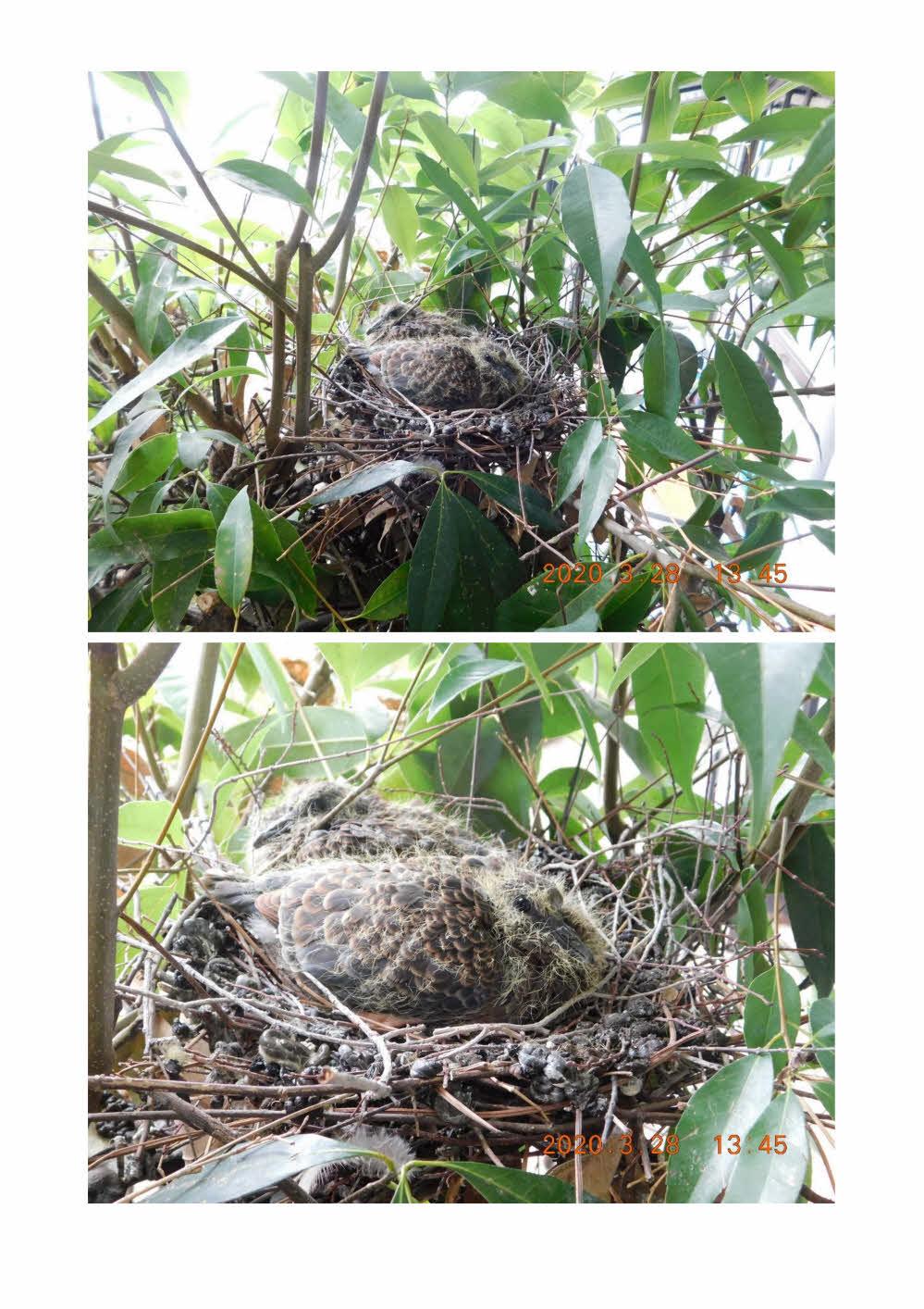 鳩の卵 孵化しました