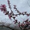 桃の花粉をとるための作業ですの画像