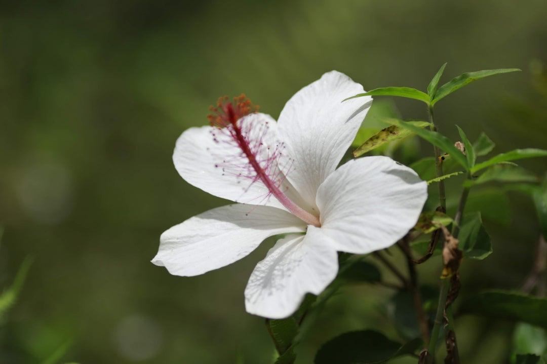ハワイ島から花見1 ハイビスカス コキオ ケオケオ