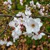 春が来ました。けど…。の画像