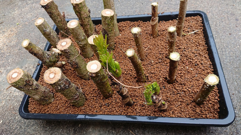 木 方 の タラ 増やし