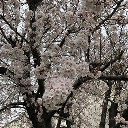 画像 今年の桜 の記事より