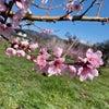 桃のビフォーアフターの画像