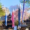 こいのぼりと桜の画像