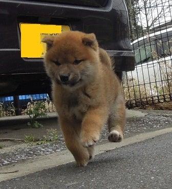 可愛い 柴犬