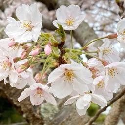 画像 Floral emblem の記事より 1つ目