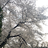 桜トンネルのおすそ分けの画像