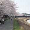 武庫川沿いの桜。そして、今日から「清明」の画像