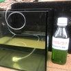 クロレラ水を高濃度に!グリーンウォーターを増やしてみた。