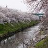 ❀桜❀の画像