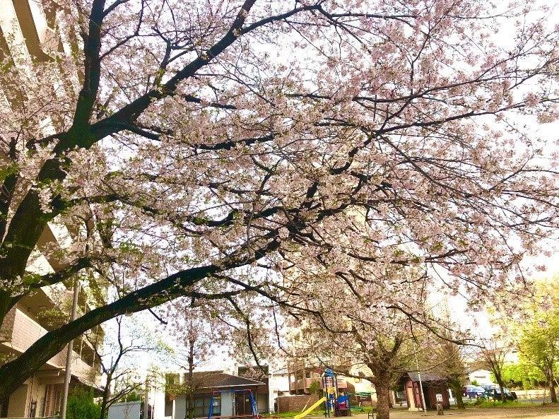 桜だより2020