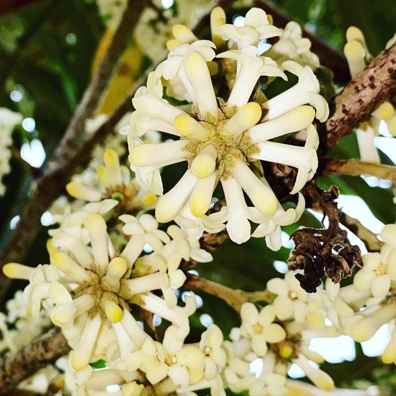 Hoawaの白い花が咲きました。ハワイの固有種