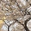 桜&寝顔に癒される