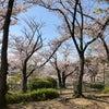 桜!桜…あれから30年、同じ桜を見ながらの画像