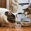 只管 カニカマをカミカミするだけの猫がかわいい