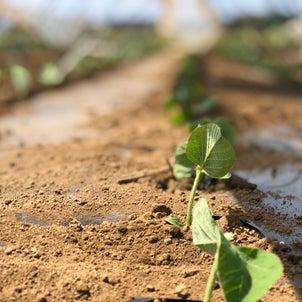 枝豆定植の画像