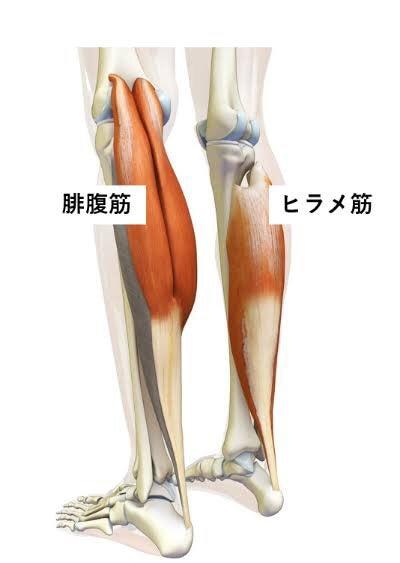 好きな筋肉ご紹介します!   ドクターストレッチ所沢店 ブログ