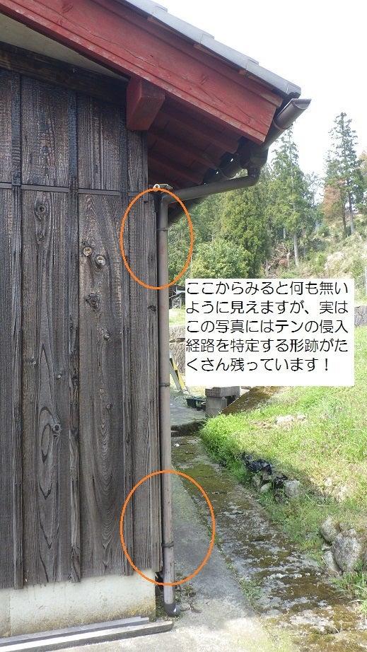縦樋を登るニホンテン