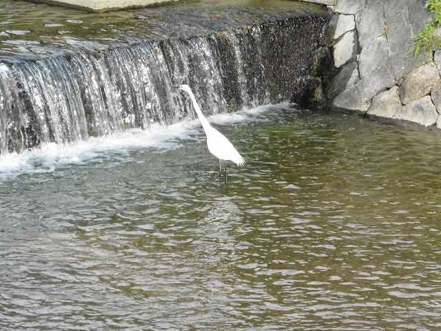 箕面川に遊ぶしらさぎ | タルゴのブログ