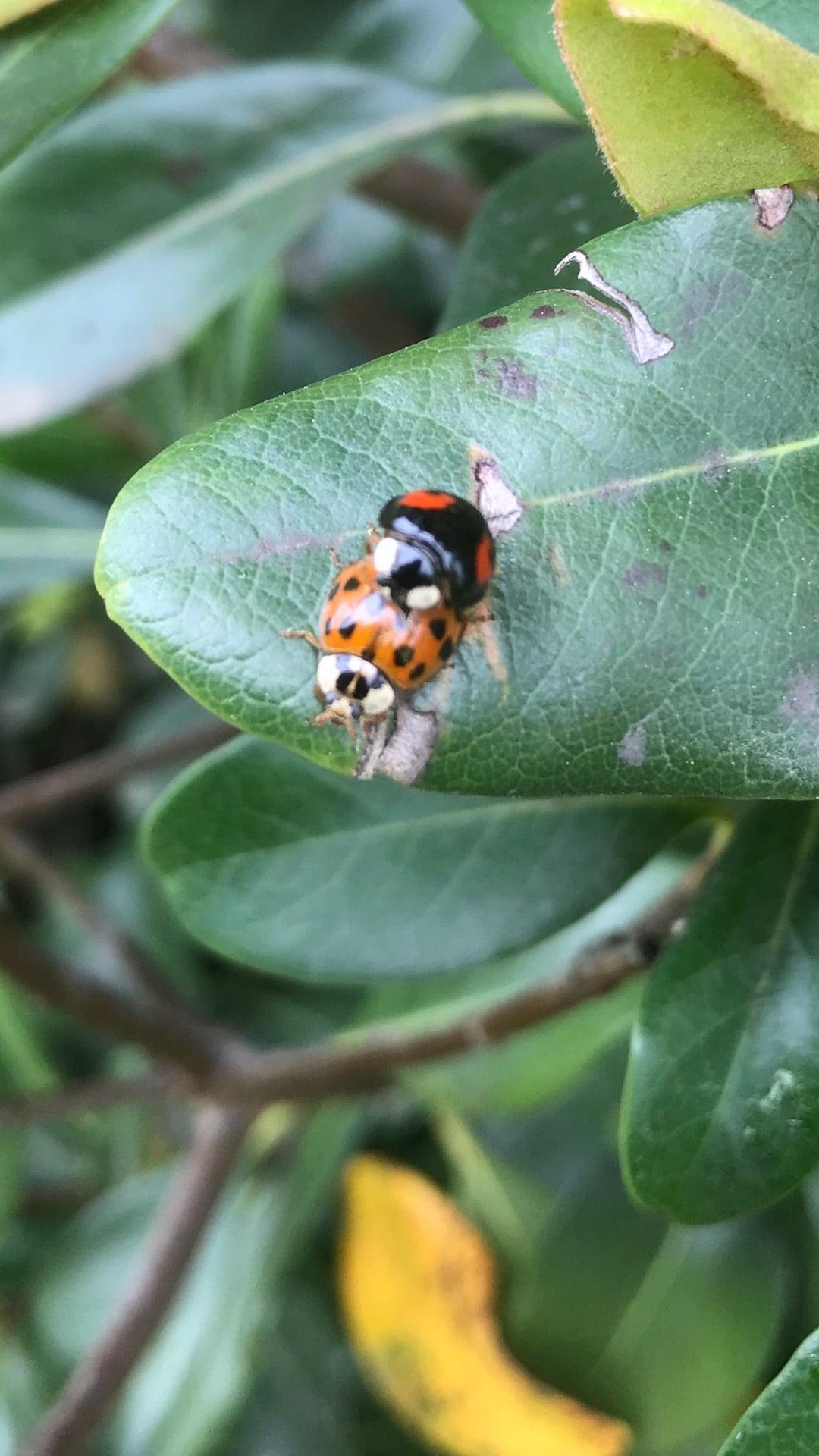 てんとう 虫 寿命 てんとう虫の飼育方法・寿命・餌について解説