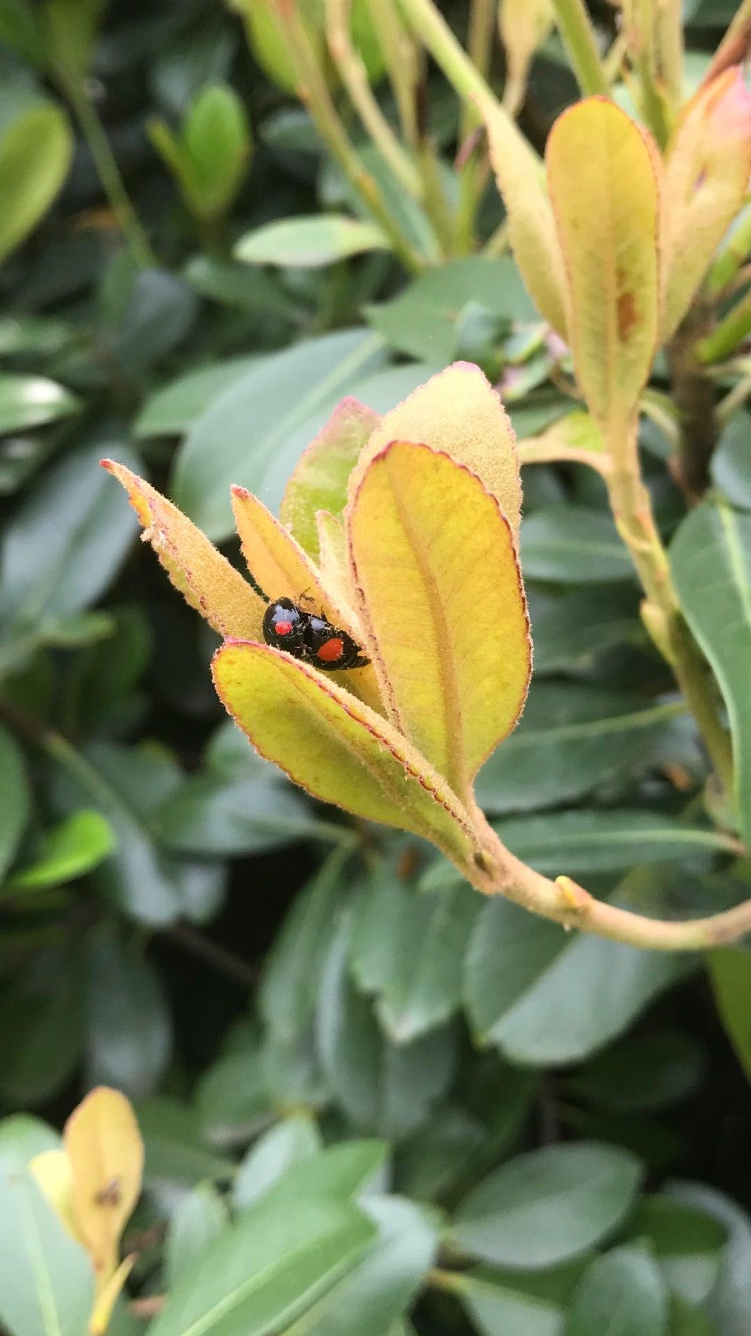 てんとう 虫 寿命 てんとう虫の寿命は? - 科学 -