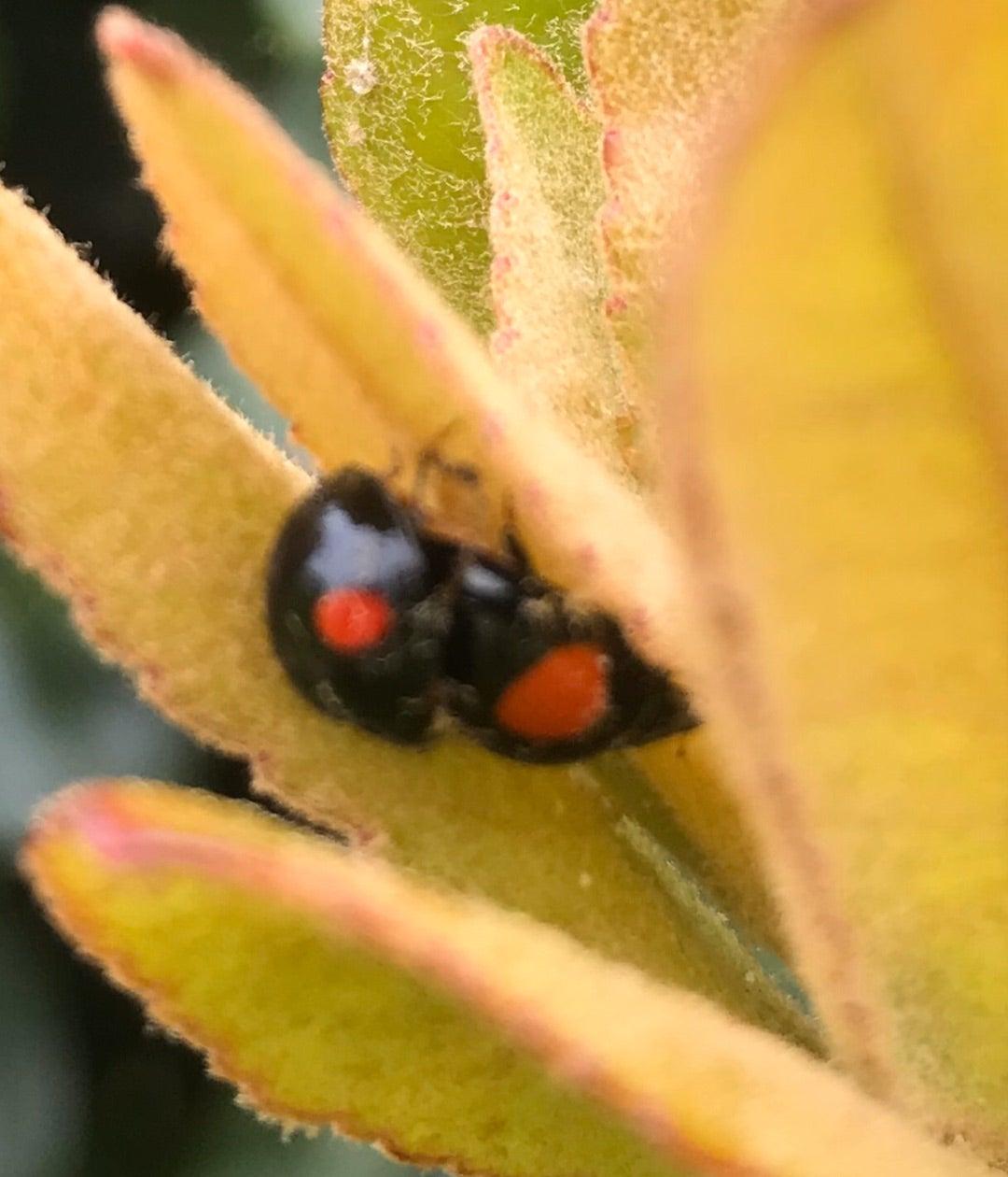 てんとう 虫 寿命 てんとう虫の幼虫→さなぎ→成虫まで!寄生する害虫も!?