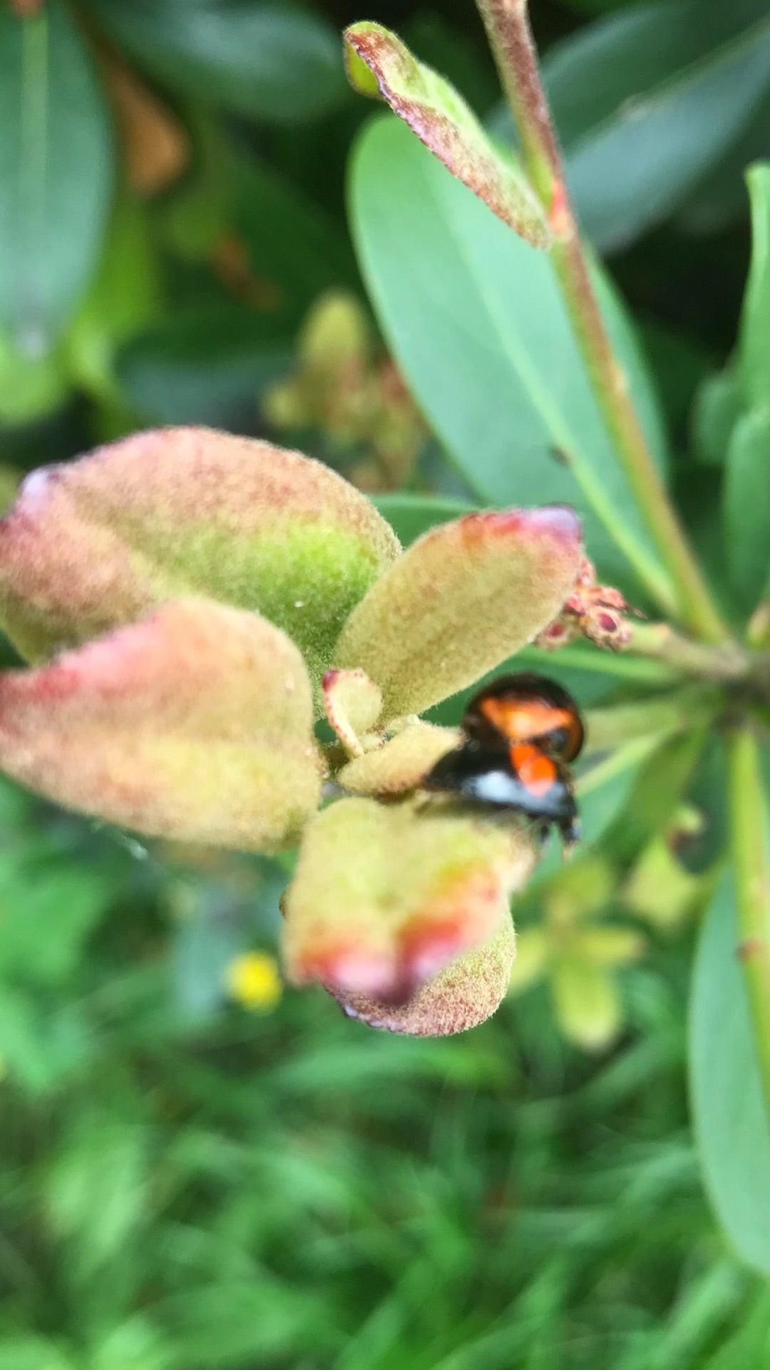 てんとう 虫 寿命 てんとう虫の餌は何?アブラムシ以外食べるものは?成長過程や飼い方...