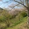 桜を愛でるの画像
