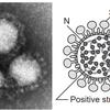 新型コロナウイルス(SARS-Cov-2)についての考察④の画像