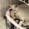白猫ハクちゃんの子育て日記9の画像