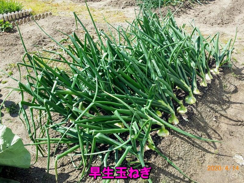 収穫 玉ねぎ