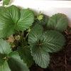久米島での野菜づくり2020年3月ラストの画像