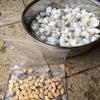 カボチャ 綿の画像