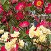 毒とバラ ◆きよらぼのお庭から花だよりの画像