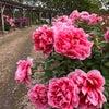 新潟県五泉市 ぼたん園の画像