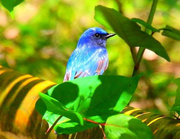 野鳥】オオルリの美しい瑠璃色は構造色なのだ! | 周南市 東郭の世界