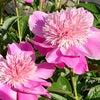 ピオニー◆きよらぼのお庭から花だよりの画像