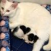 白猫ハクの子育て日記22の画像