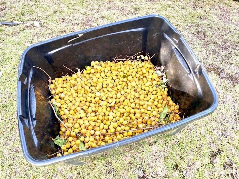 ヘーゼルナッツと思って収穫した実はキャロットウッドの実だった。
