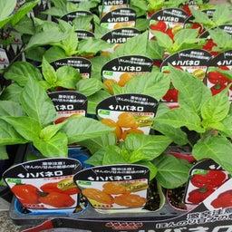 画像 野菜苗 続々入荷中 の記事より 3つ目