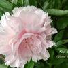 庭の花と。分かりにくくてモヤモヤする愛知県独自の緊急事態宣言、緊急事態措置・・・。の画像