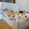 猫の預かりボランティア ご協力のお願いの画像