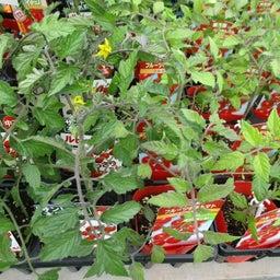 画像 野菜苗 続々入荷中 の記事より 4つ目