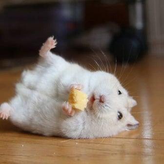ハムスター「チーズうめー!」 コロンと転がるツイートが話題に「間違いなく言ってる」「表情の破