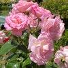 薔薇園の画像