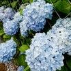 お花見散歩、旧古河庭園へばらを見に行く