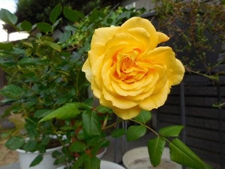 黄バラ満開 Amebaブログと私
