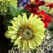 アンティークブローチみたいな花 【ジニア】♡ コリウスが育っています  ( ˆoˆ )