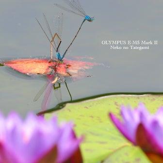 今日は昆虫の日♪ 蜻蛉と睡蓮@クレマチスの丘